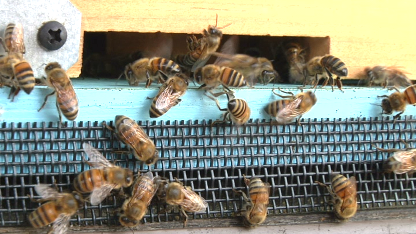 Europea  Honey Bee