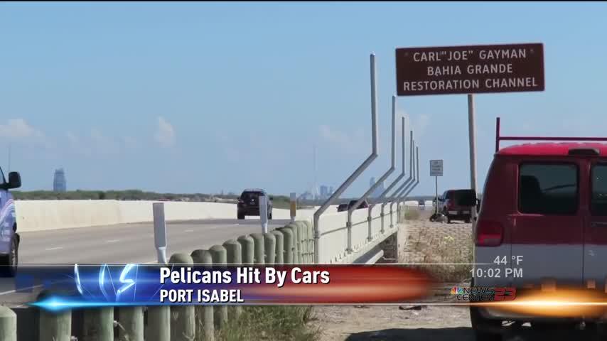 Brown Pelicans on Bridge Hit by Cars_25313276