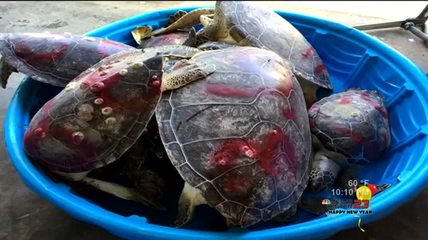 Dead Sea Turtles to be Examined this Week