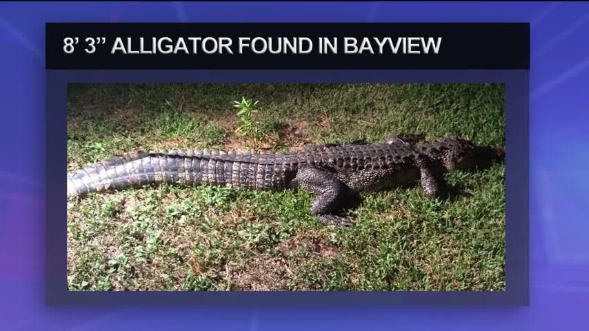 Alligator Found In The Bayview