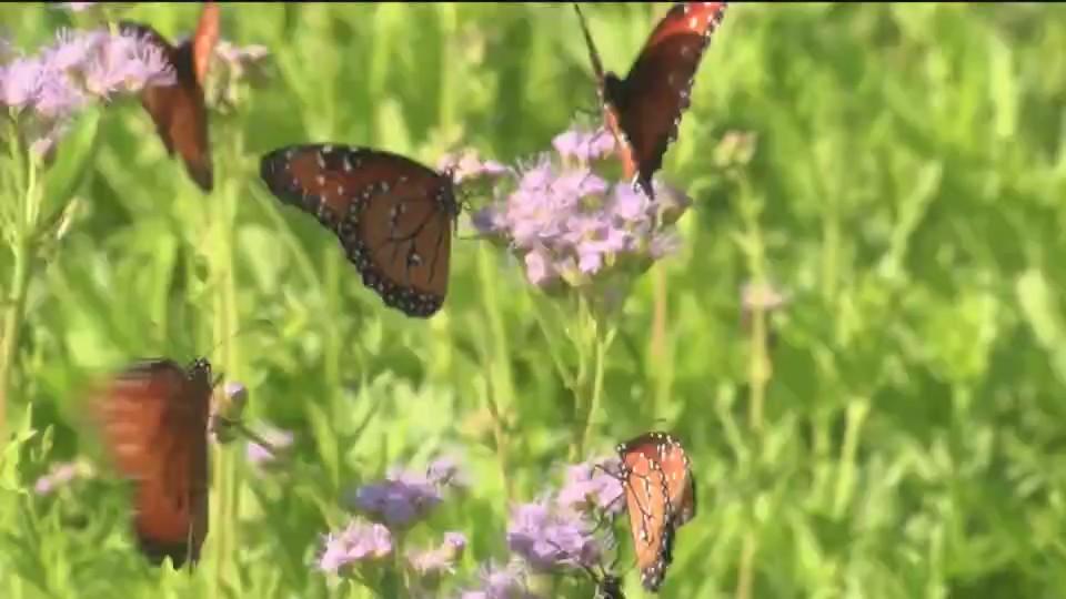 monarch butterfly threatened_1531531742996.jpeg.jpg