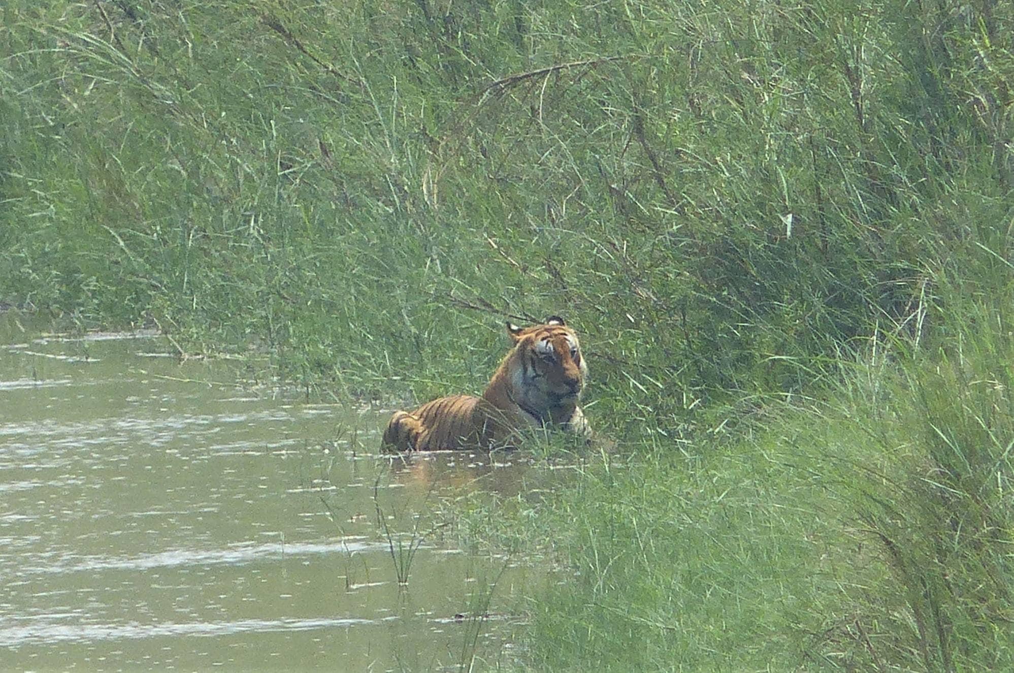 tiger spotted 3_1556811392462.jpg.jpg